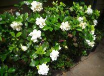 gardenia-ausgusta-bushes1